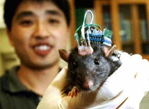 Rat with a brain chip: